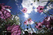 Sample image: Cosmos flowers