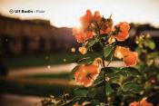 Sample image: Wet roses