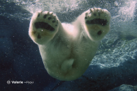 Sample image: Polar bear underwater